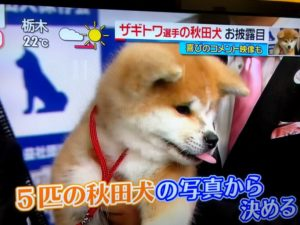 ザギトワ選手の秋田犬 マサル