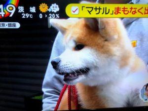 ザギトワ選手 秋田犬