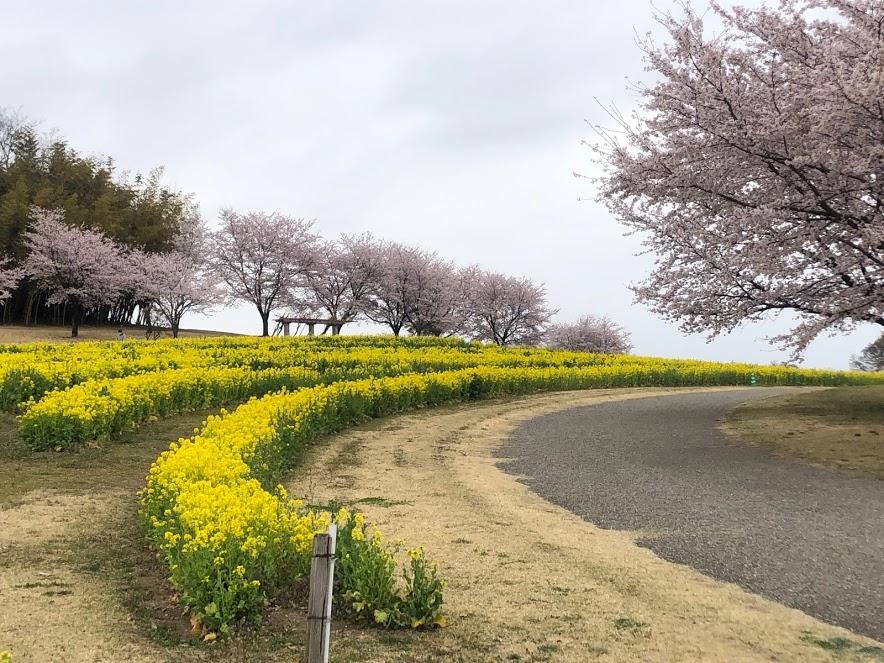 群馬 大室公園 桜 菜の花