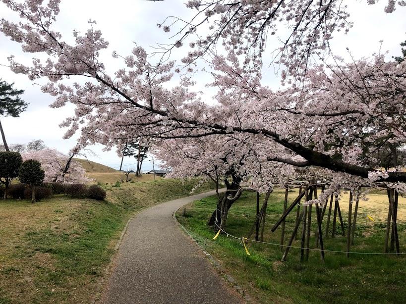 群馬 大室公園 桜